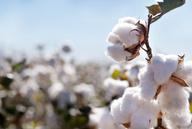 Unsicherheit am Markt: Baumwollpreis sinkt